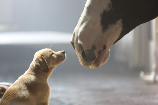 Budweiser Puppy Love Image 1024x682 600x399 Is This the Year of Emotion for the Brand Bowl?