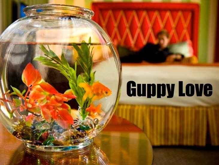 kimptons guppy love